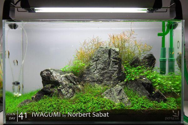 Iwagumi by Norbert Sabat – Dzień 41