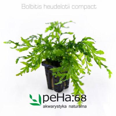 Bolbitis heudelotii compact