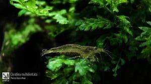 Krewetka Amano (Caridina multidentata)