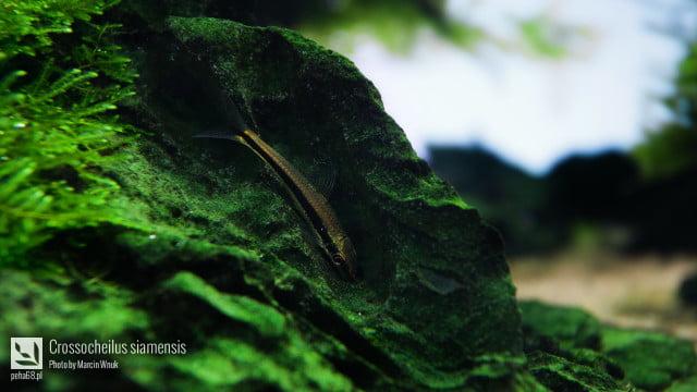 Crossocheilus siamensis