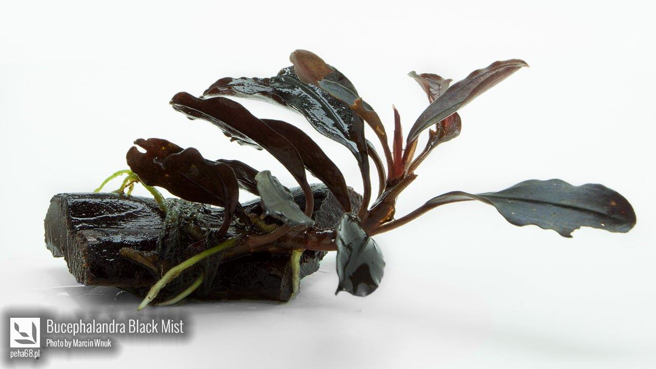 07 Bucephalandra Black Mist