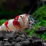 Nano akwarium - Krewetkarium