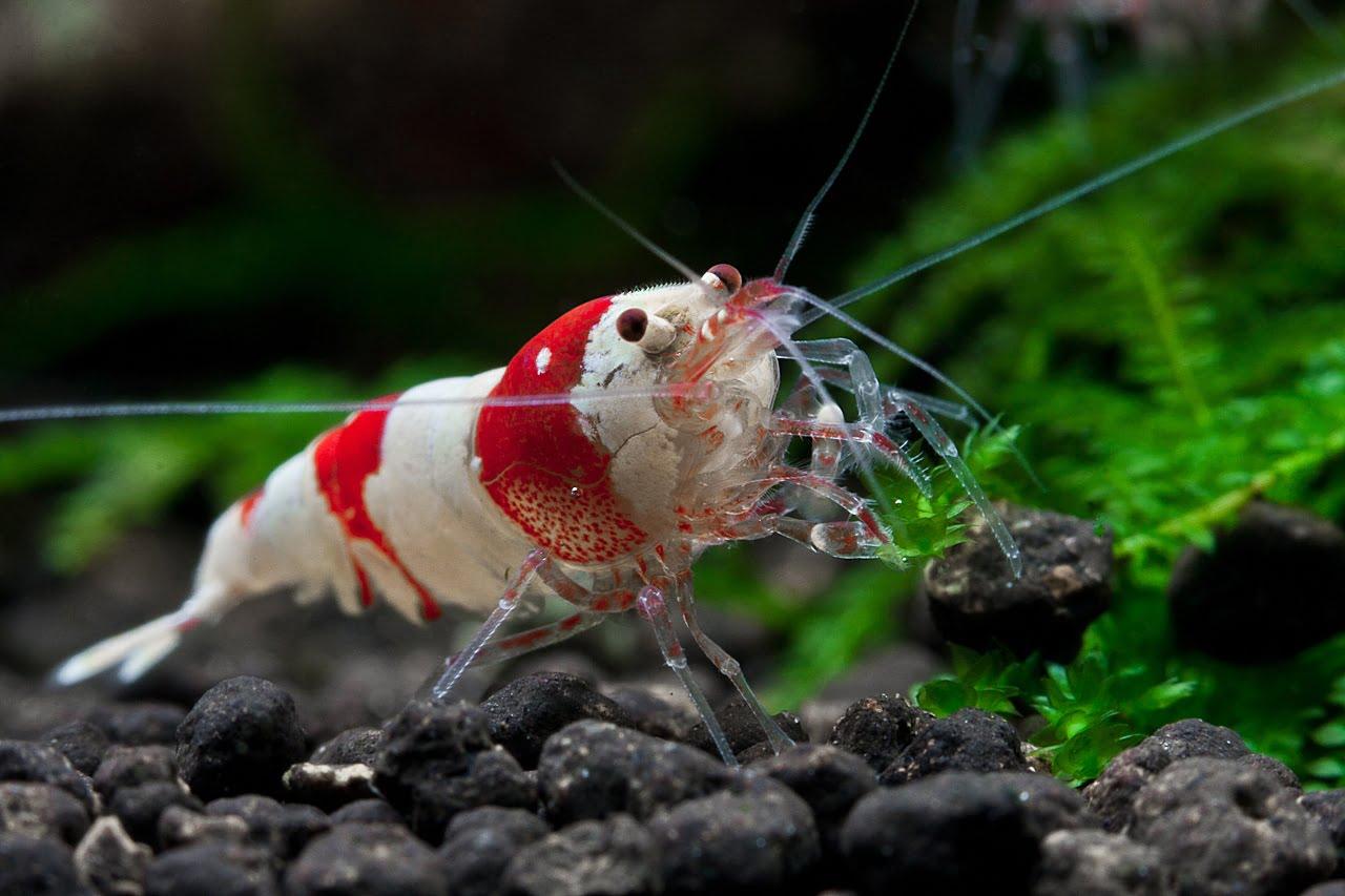 Krewetkarium - Red Bee Shrimp