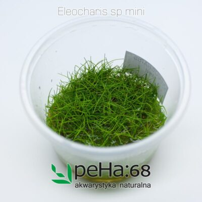 Eleocharis sp mini