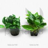 Anubias nana 'Petite' vs 'Mini'