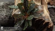 Bucephalandra Brownie selena