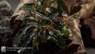 Bucephalandra Kedagang original
