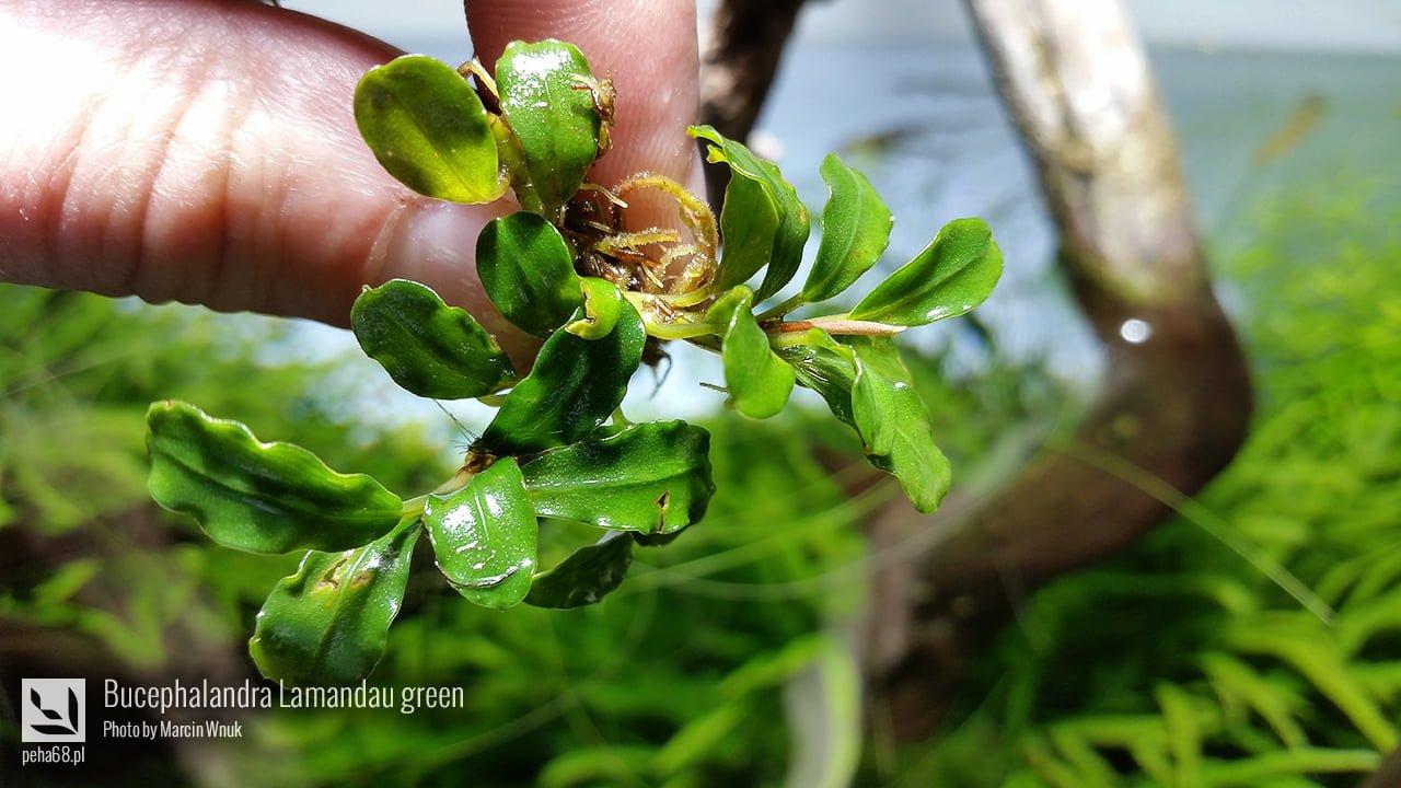Bucephalandra Lamandau green