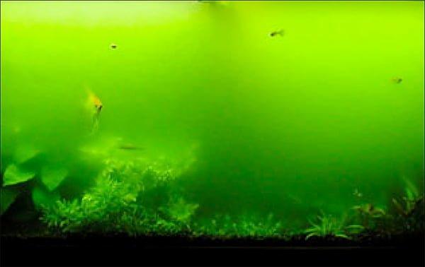 Zielony zakwit wody