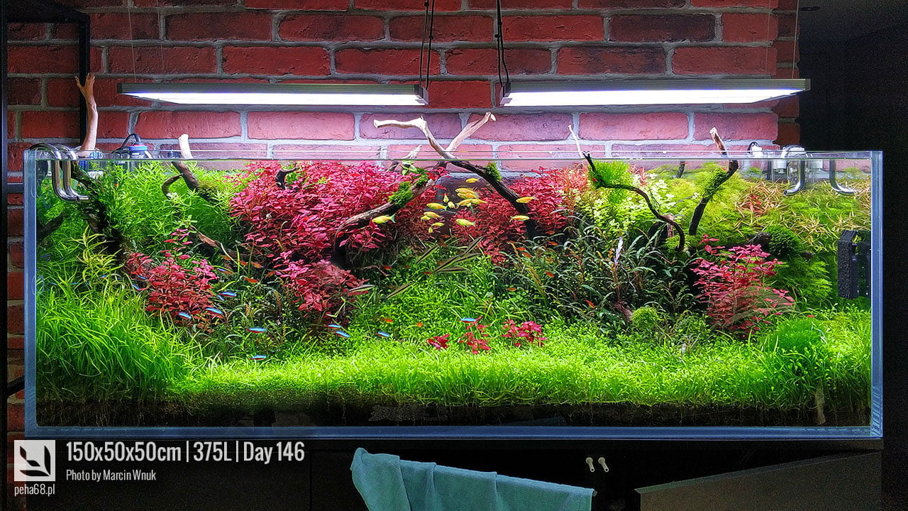 Ludwigia sp Super Red