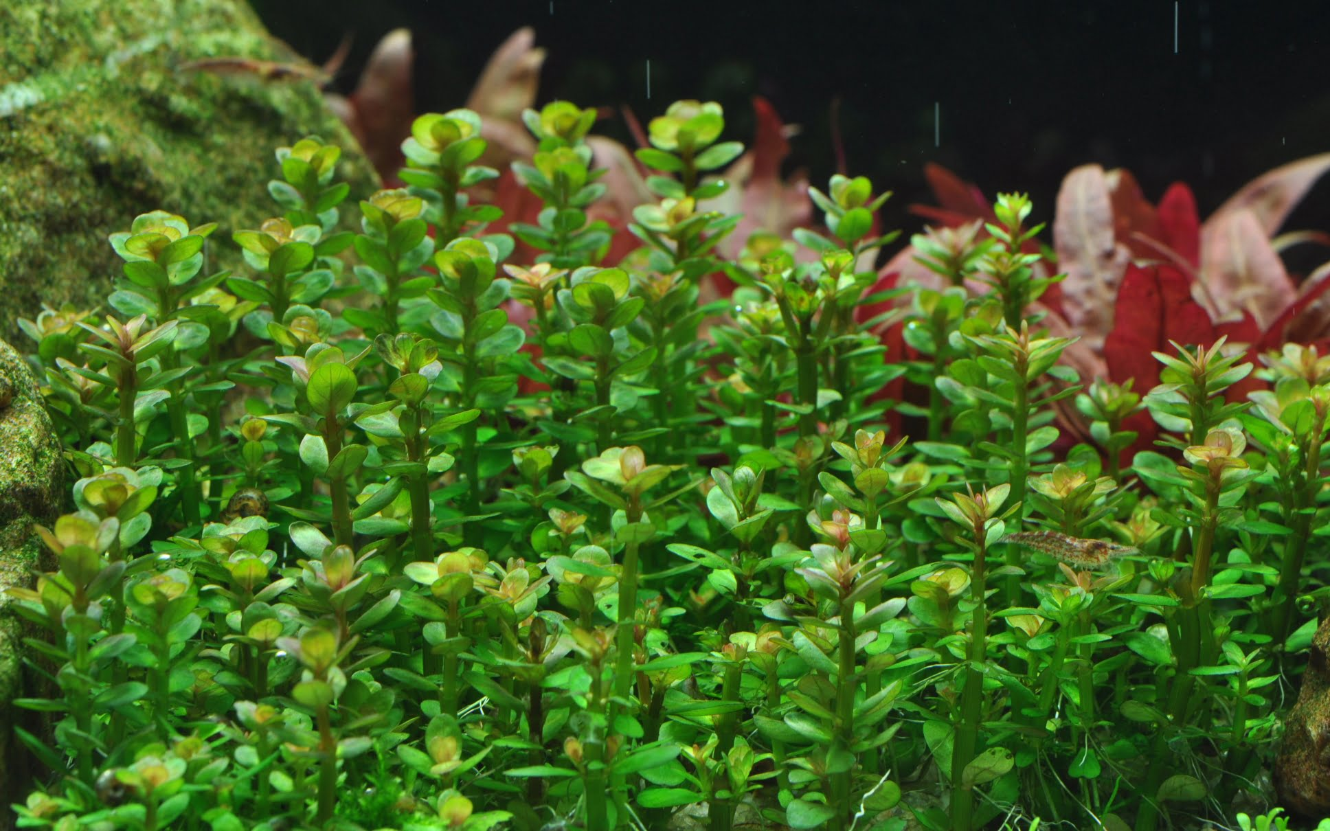 Amania bonsai