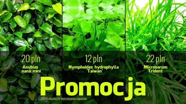 Promocja – Anubias nana mini i Microsorum trident