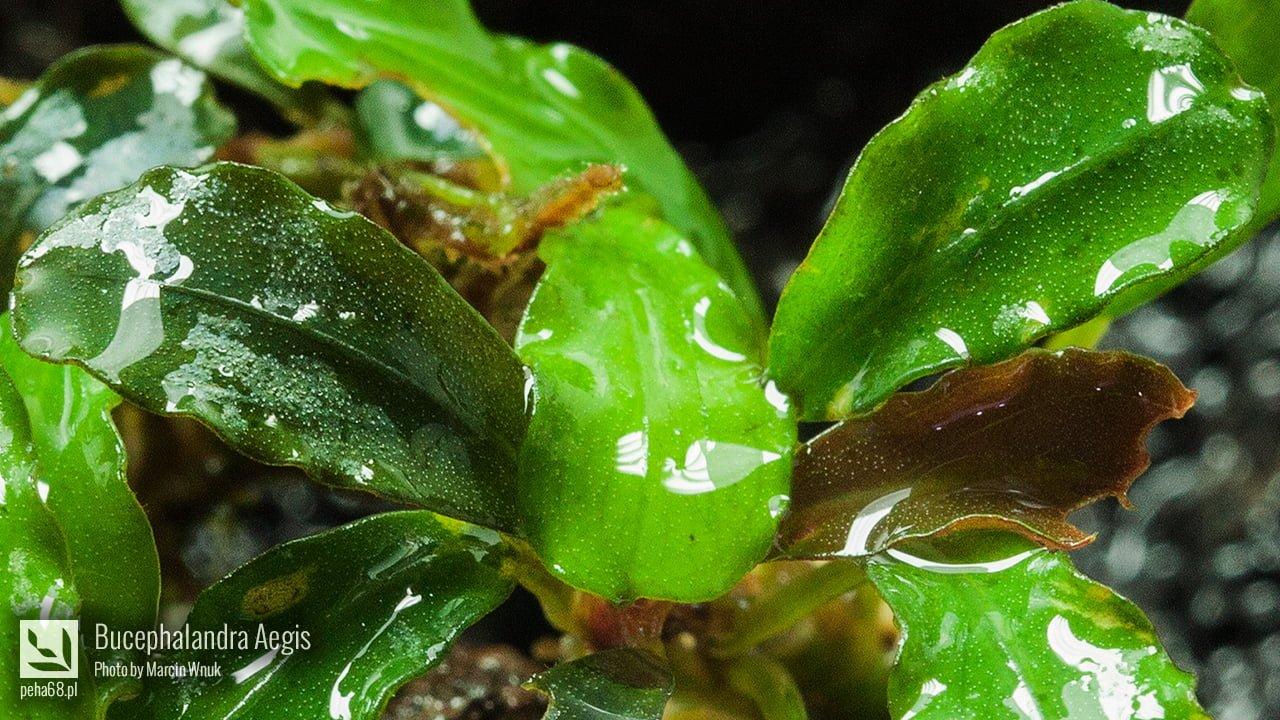 Bucephalandra Aegis 003