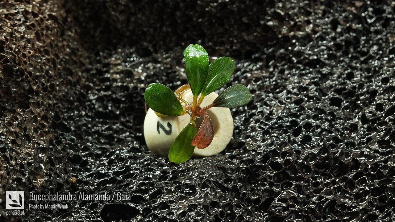 Bucephalandra Alamanda - Gaia - 002