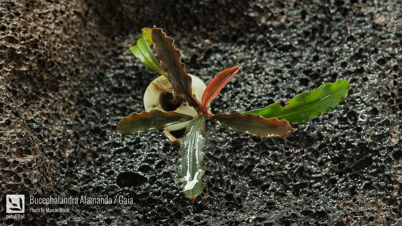 Bucephalandra Alamanda - Gaia - 003