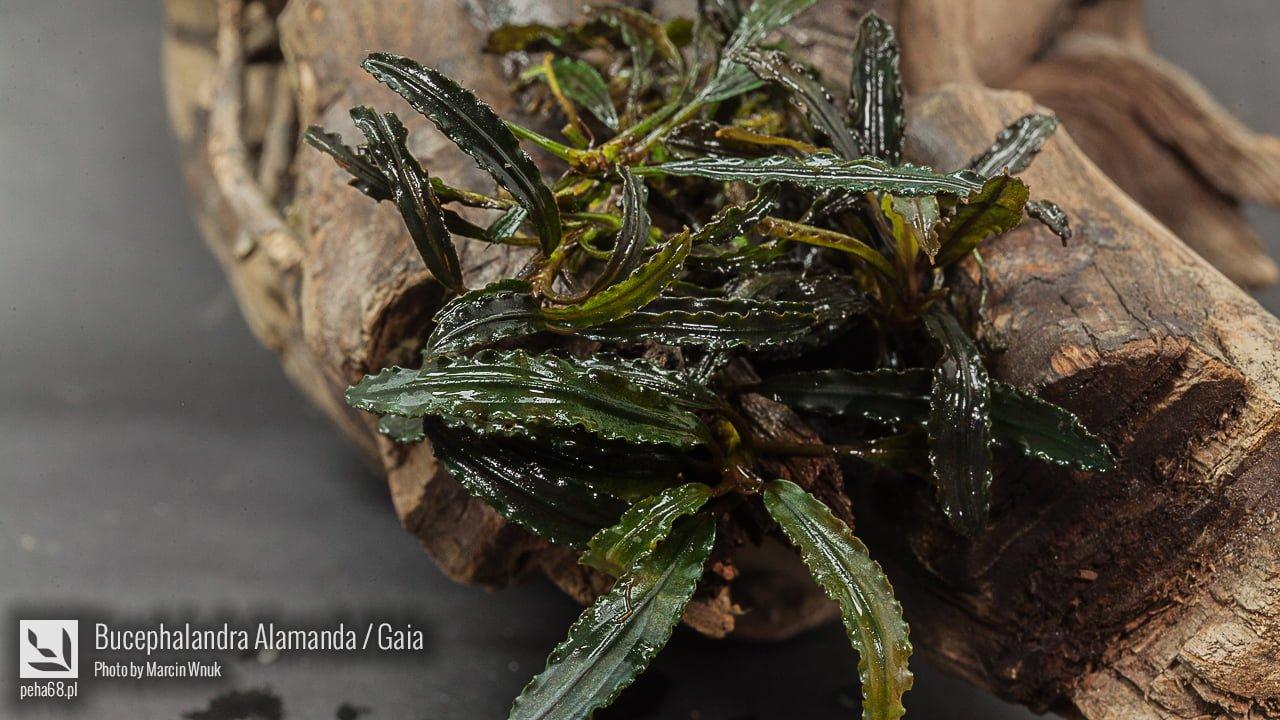 Bucephalandra Alamanda - Gaia - 004