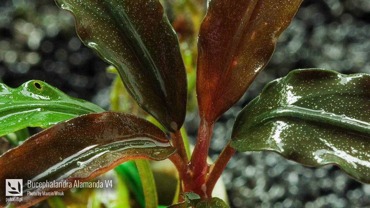 Bucephalandra Alamanda V4 - 001