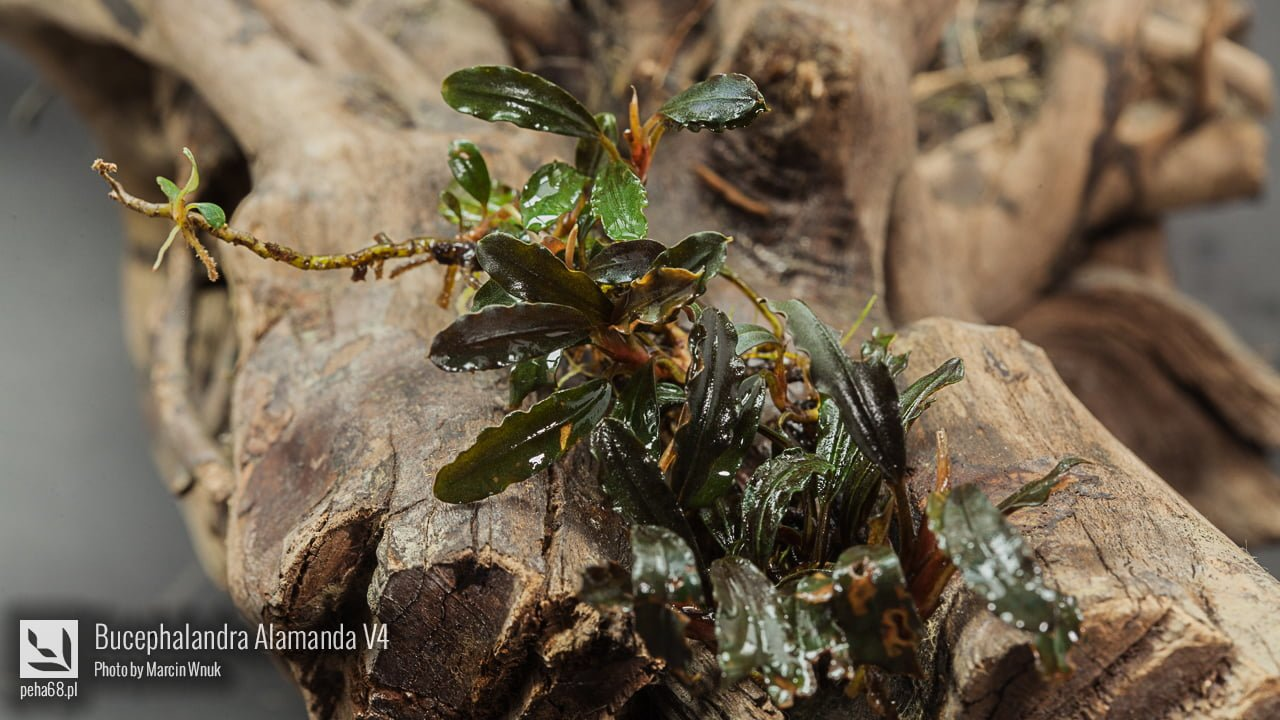 Bucephalandra Alamanda V4 - 002