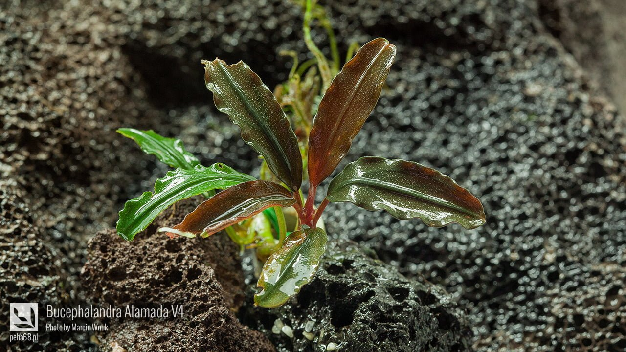Bucephalandra Alamanda V4