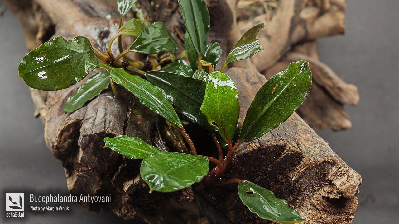 Bucephalandra Antyovani