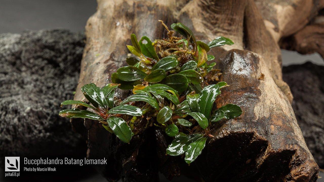 Bucephalandra Batang lemanak