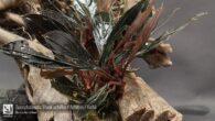 Bucephalandra Black achilles - Achilles - Kishii