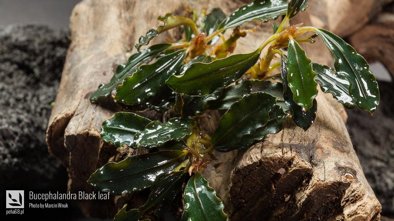 Bucephalandra Black leaf