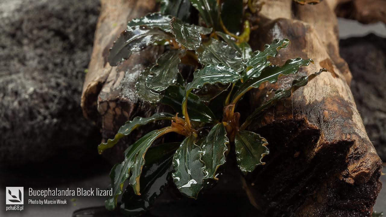 Bucephalandra Black lizard