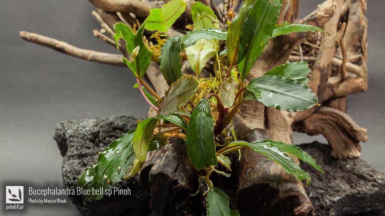 Bucephalandra Blue bell sp Pinoh