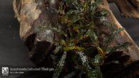 Bucephalandra Dark velvet / Black gaia