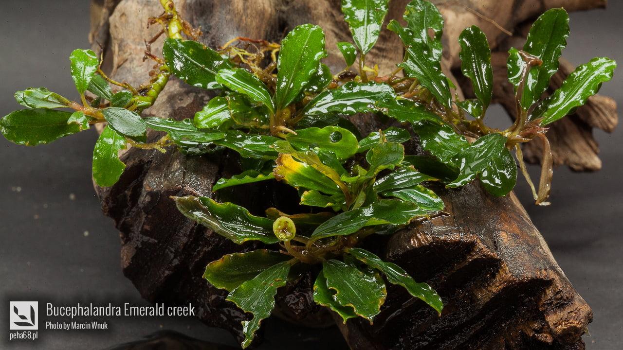 Bucephalandra Emerald creek