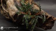 Bucephalandra Fino Sherry / IO