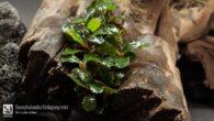 Bucephalandra Kedagang mini