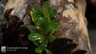 Bucephalandra Kir Campari