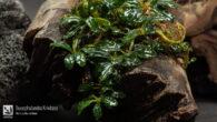 Bucephalandra Krivbass