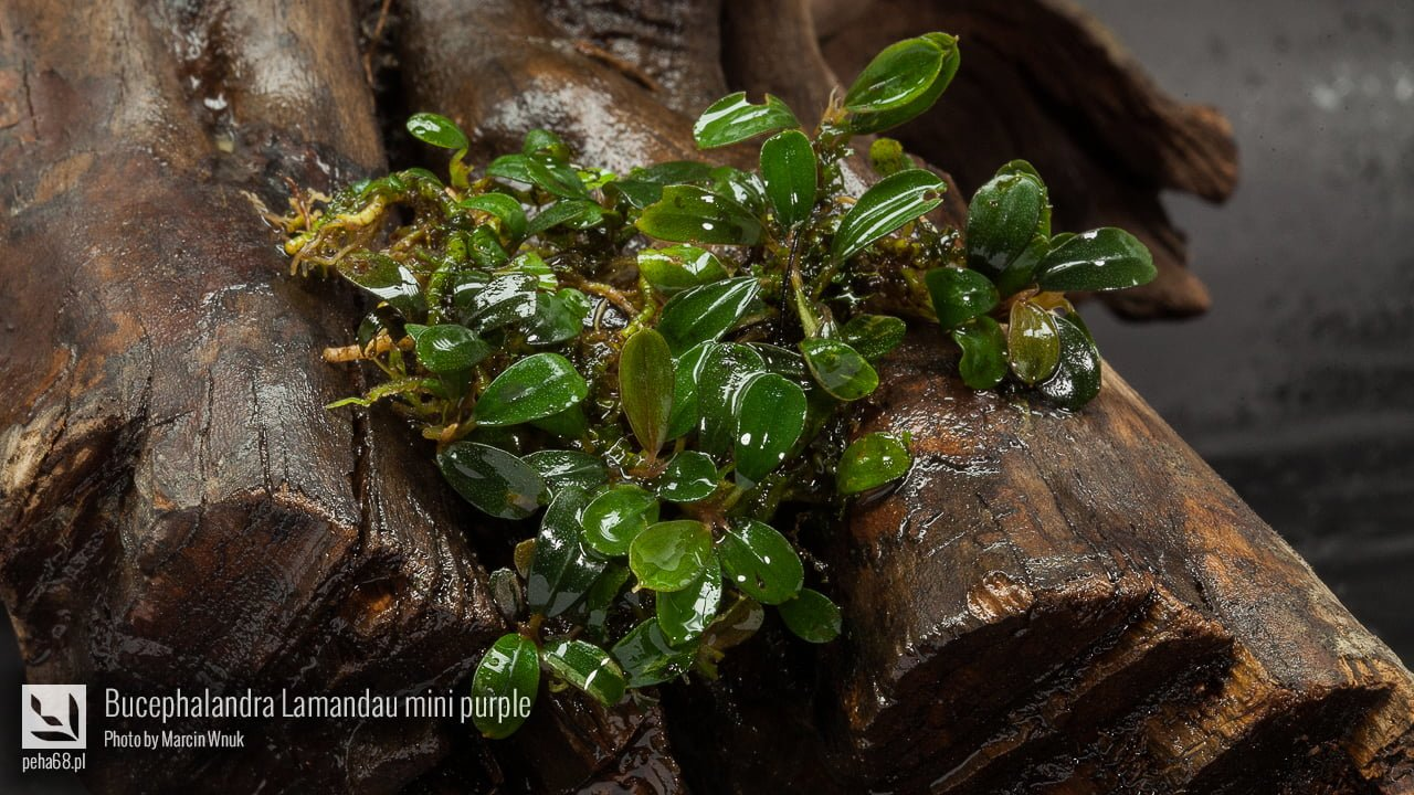 Bucephalandra Lamandau mini purple