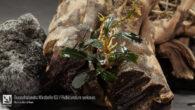Bucephalandra Mirabelle 02 - Rubicundum sericeus