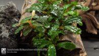 Bucephalandra Motleyana brown red silver powder