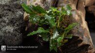 Bucephalandra Motleyana red under leaf