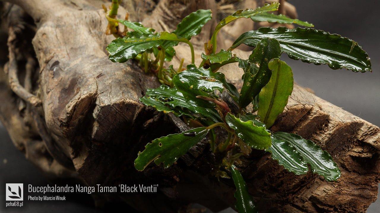 Bucephalandra Nanga Taman 'Black Ventii'