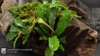 Bucephalandra Teras layercake