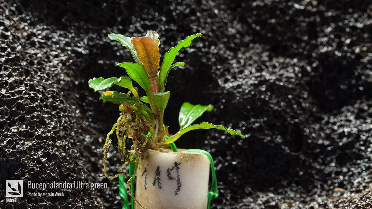 Bucephalandra Ultra green 001