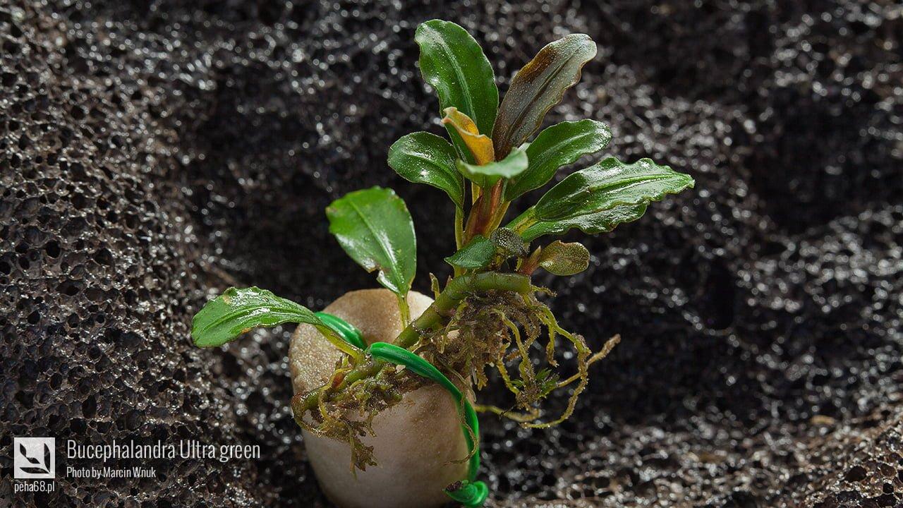 Bucephalandra Ultra green