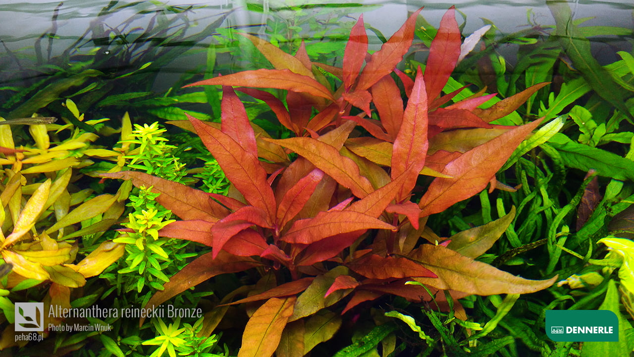 Alternanthera reineckii Bronze
