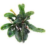 Bucephalandra Wave Leaf