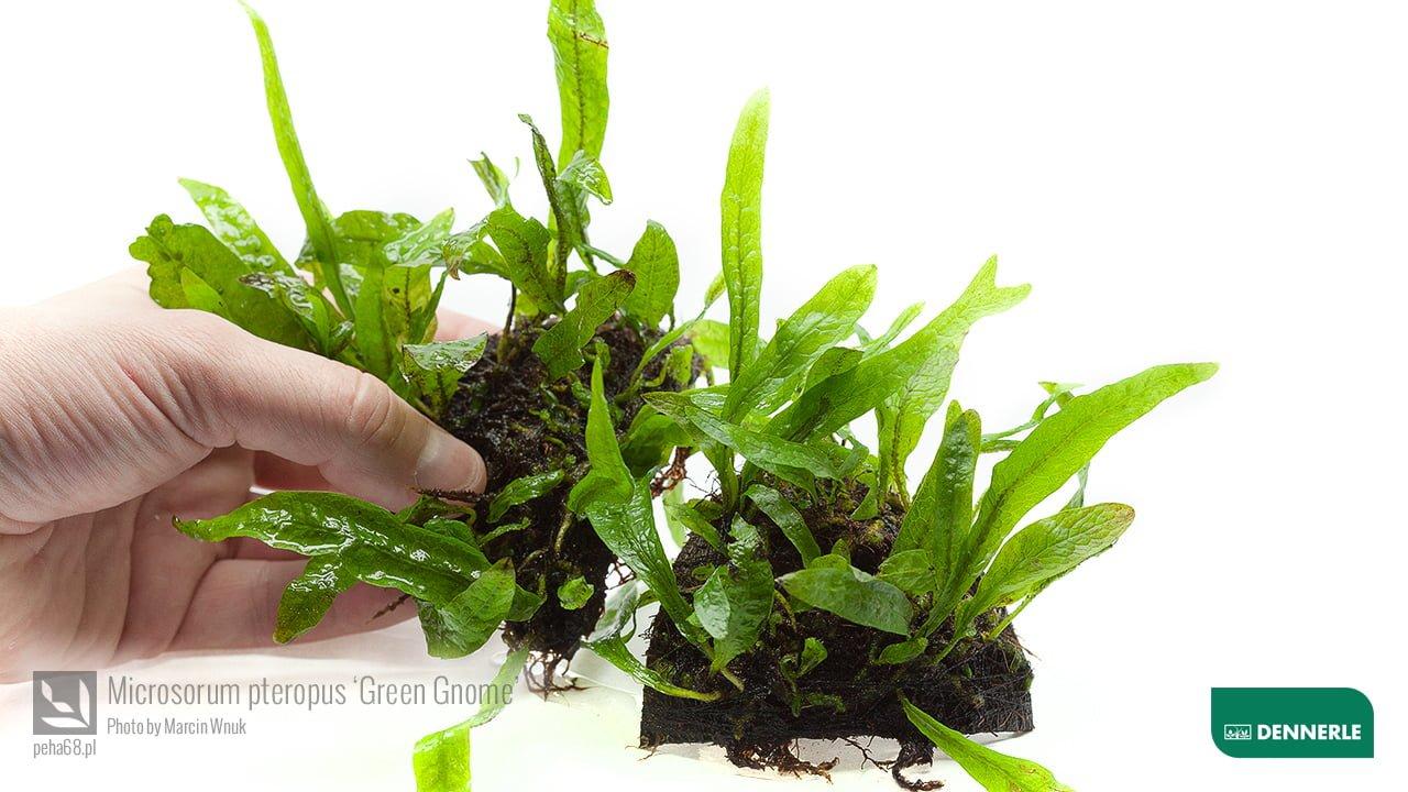 Microsorum pteropus Green Gnome