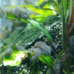 Krasnorosty - Glony pędzelkowate